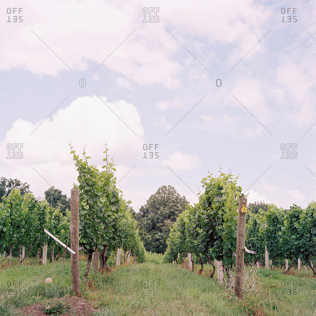 Rows of grapevines growing in vineyard