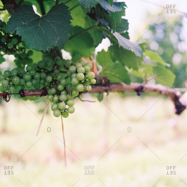 Grape bunch growing on the vine