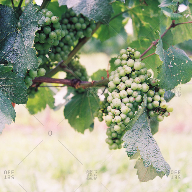Green grape bunch on the vine