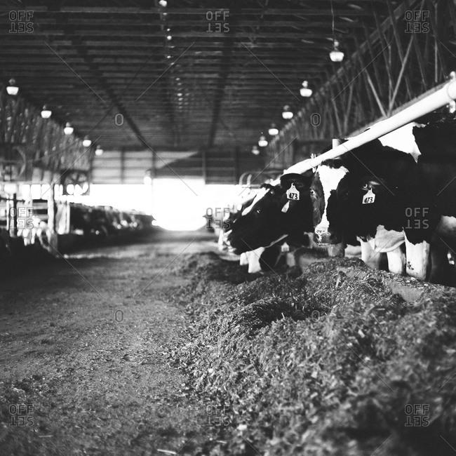 Cows feeding in large scale farm