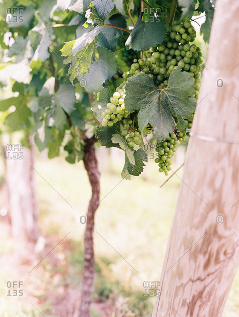 Bunch of grapes growing on vine