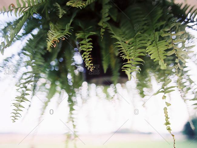 Fern fronds overhanging planter