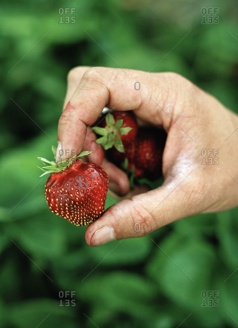 A woman holds strawberries