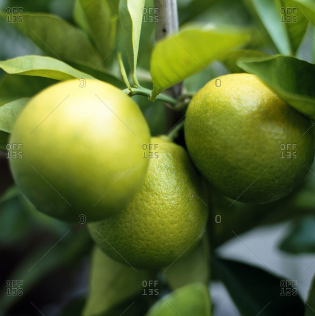 Lemons ripening on a tree