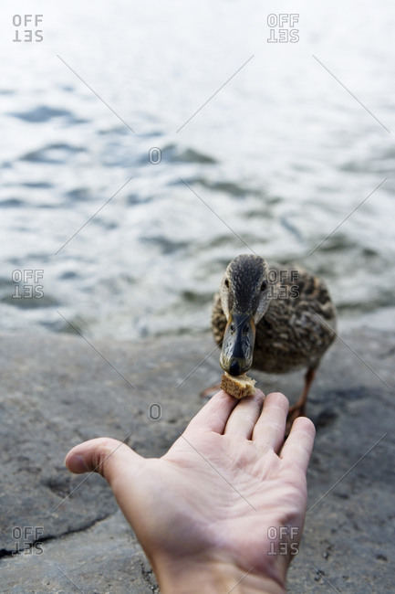 A man feeding a duck, Sweden