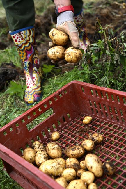 A woman harvests potatoes in Norrbotten, Sweden