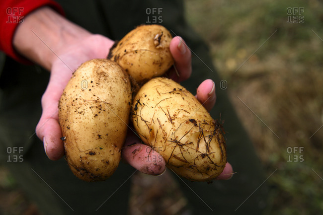 A woman holds three freshly picked potatoes, Norrbotten, Sweden