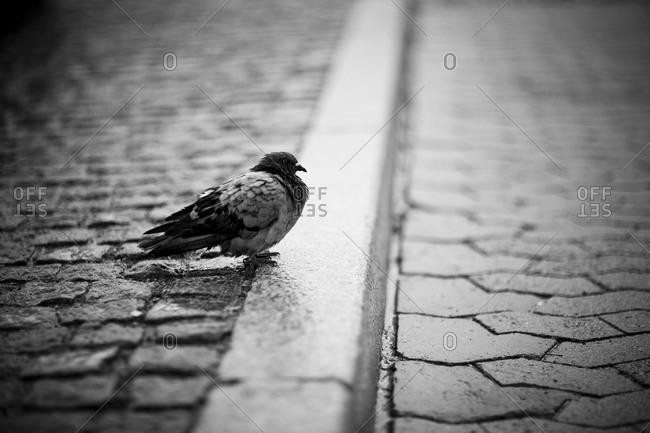 A pigeon on a sidewalk, Stockholm, Sweden