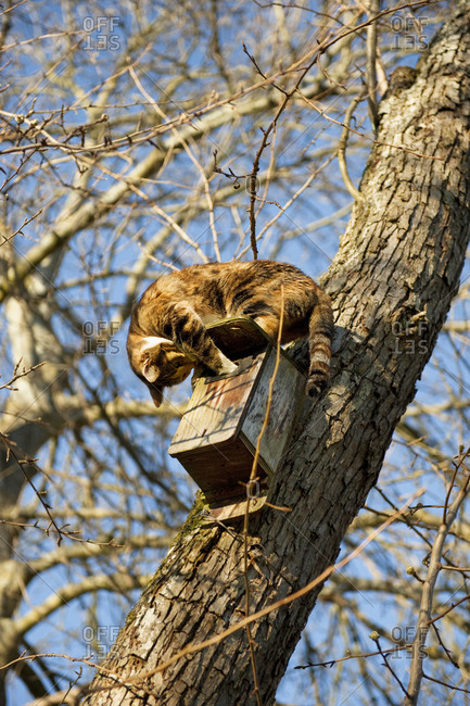 A cat attacking a birdhouse in a tree, Sweden