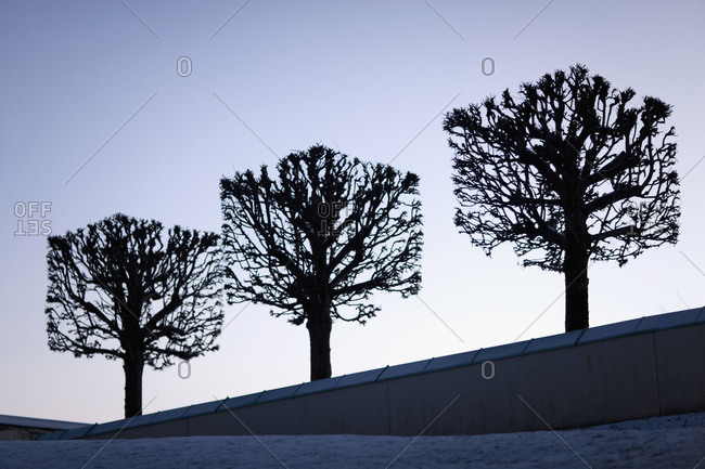 Three pruned trees on a slope in a cemetery, Sweden