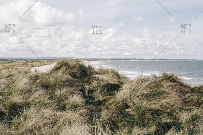 Grass clumps on a seacoast