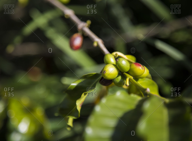 Green coffee cherries on a branch
