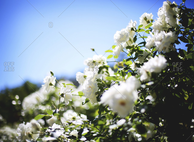 Close up of blooming white flowers