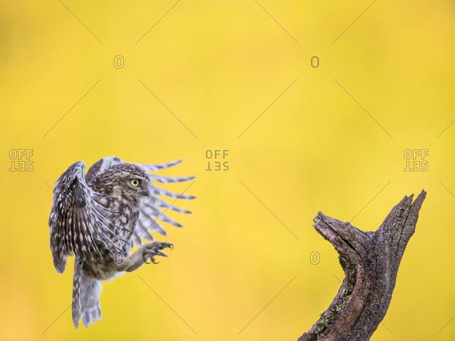 Owl flying toward a tree branch