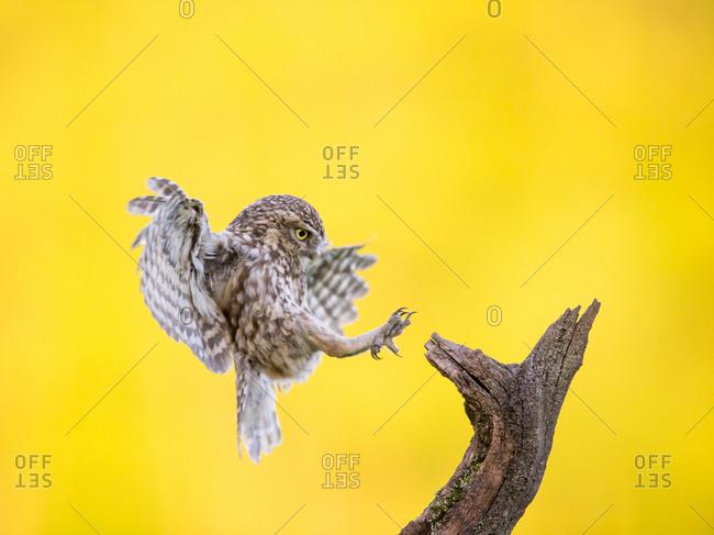 Owl landing on a tree branch