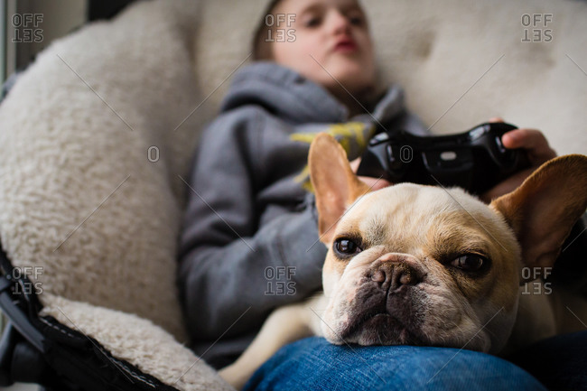French bulldog resting in a boy's lap