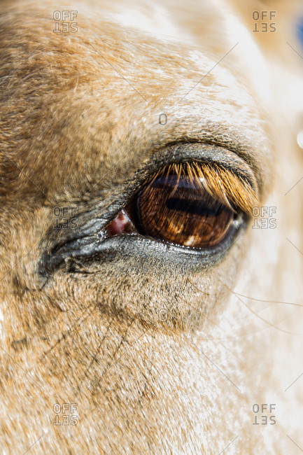 The brown eye of a horse