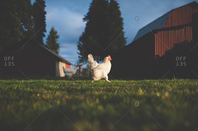 Two chickens running through barnyard
