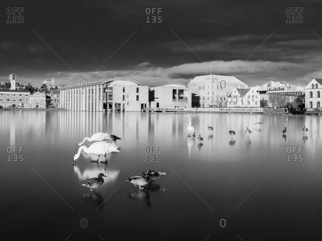 Swans and waterfowl on ice in Reykjavik