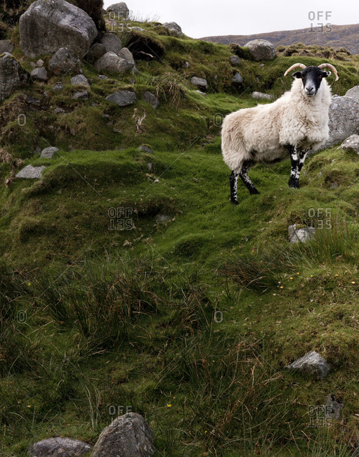 A ram in the Scottish countryside