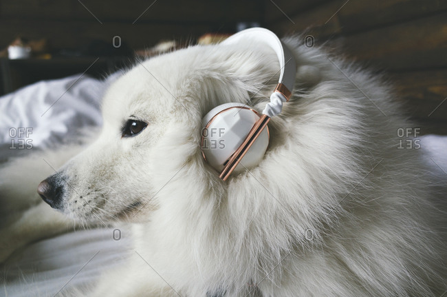 A dog with headphones