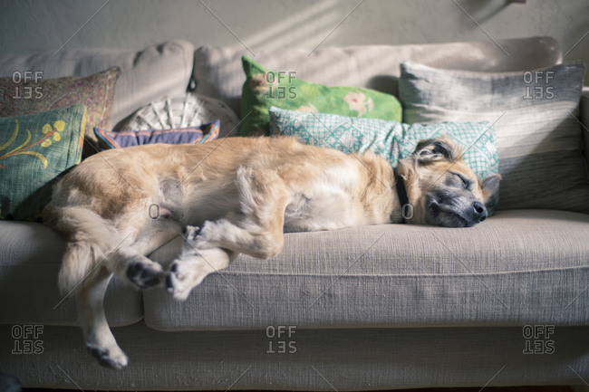 Dog lying on a couch
