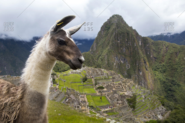 A llama is at the ancient site of Machu Pichu in Cusco, Peru