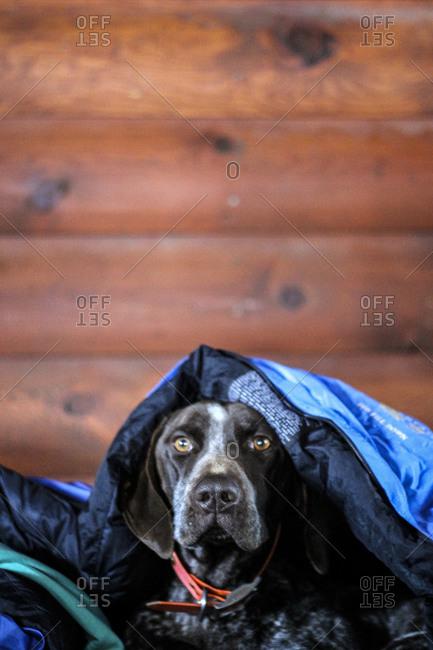 Dog hides under a sleeping back inside a log cabin