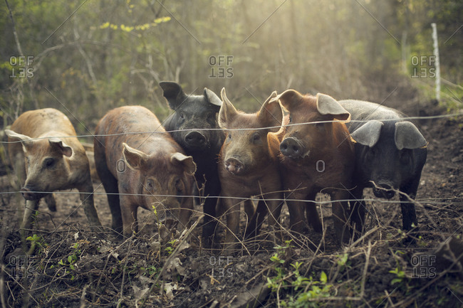 Six pigs waiting at the fence line for their daily slop