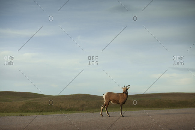 Mule deer waits for the rest of the heard on a gravel road in South Dakota