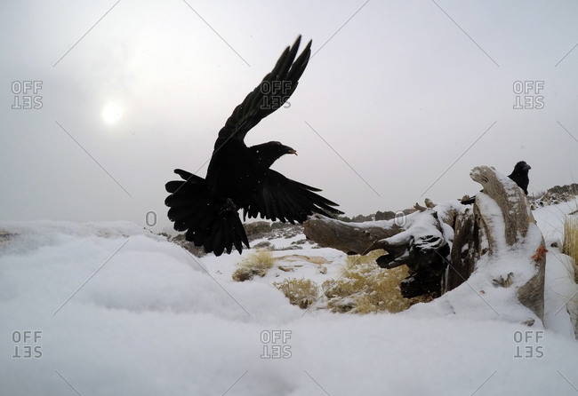 A crow flies dramatically over the snow in Canyonlands National Park near Moab, Utah