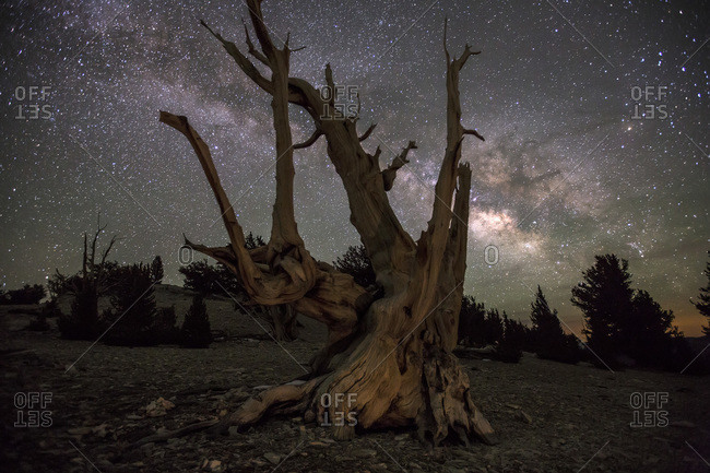 Ancient Bristlecone Pine Trees are illuminated by the Milky Way drifts across a clear night sky