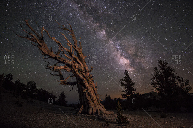 Ancient Bristlecone Pine Trees under a starry night