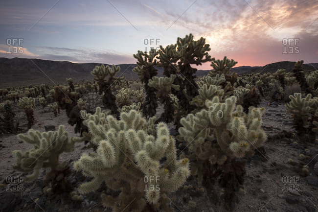 A burst of light in the distance provides a spectacular light show over the Cholla Cactus Garden in Joshua Tree National Park