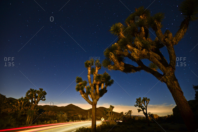 Light trails on the road illuminate trees at night in Joshua Tree National