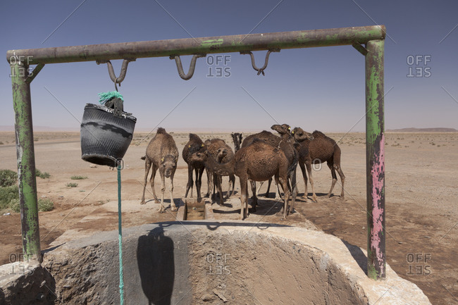 Group of camels drinking near a well in the desert of Sahara, Morocco, north africa