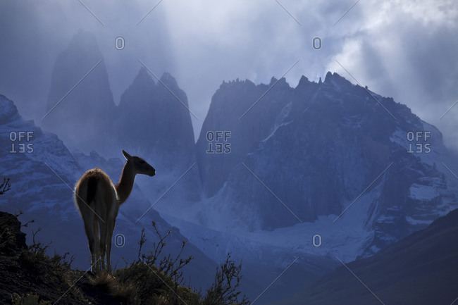 A wild guanaco (lama guanicoe) in front of the towers in Chile's Torres del Paine National Park