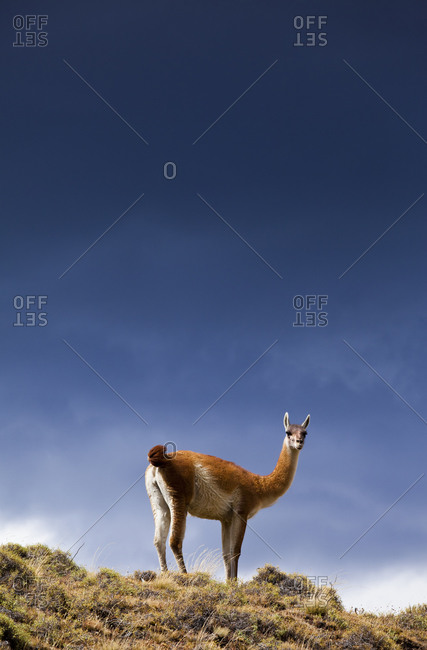 A wild guanaco (lama guanicoe) in Torres del Paine National Park