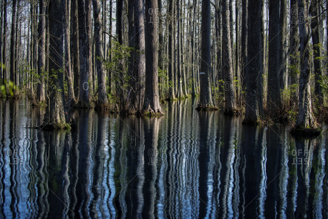 Cypress trees stand in the water
