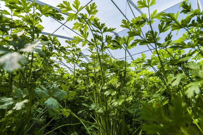 Organic parsley growing in greenhouse