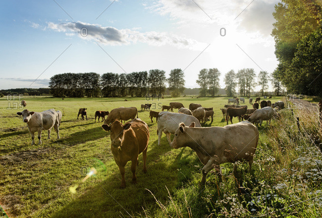 Cows in a field at Bad Doberan, Mecklenburg-Western Pomerania, Germany
