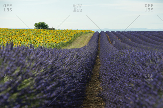 Sunflowers next to a lavender field  near Valensole, Provence, France