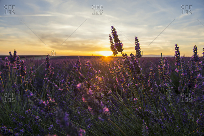 Lavender field at sundown near Valensole, Provence, France