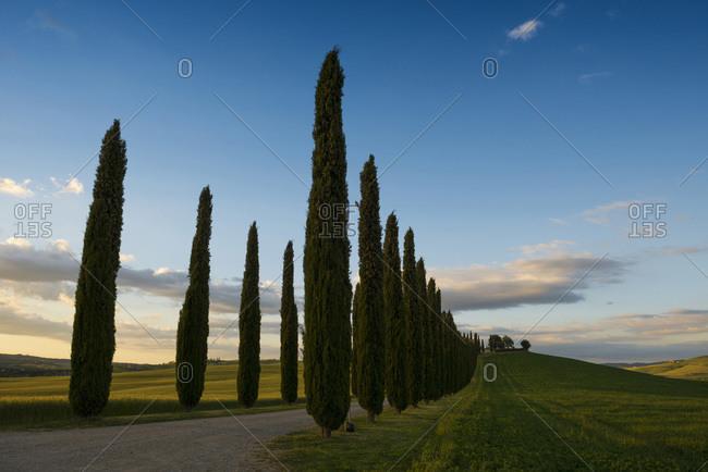 May 26, 2014: Tuscan Cypress trees near San Quirico d`Orcia, Siena, Tuscany, Italy