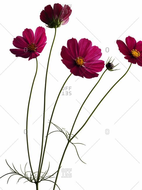 Studio shot of pink Garden cosmos flowers in bloom