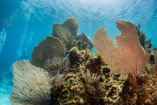 Large sea fans spread across coral in the Caribbean Sea