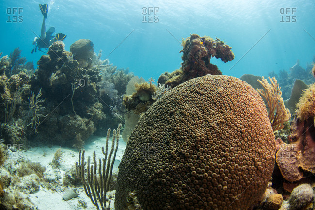 A large round soft coral in the Caribbean Sea