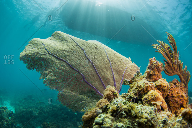 A sea fan bends in the current in a coral reef in the Caribbean Sea