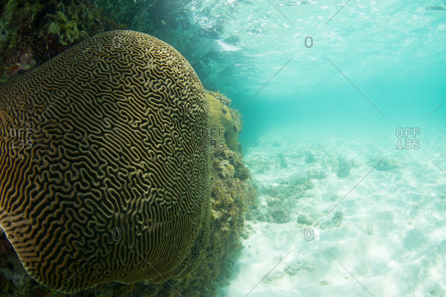 A large brain coral in a coral reef in the Caribbean Sea