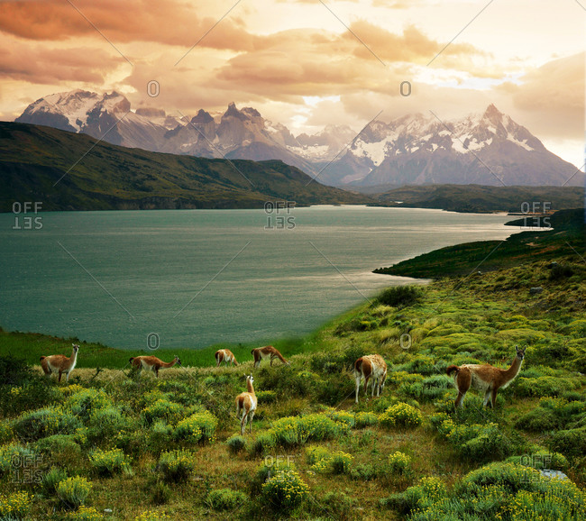 Llamas grazing in remote mountainous field